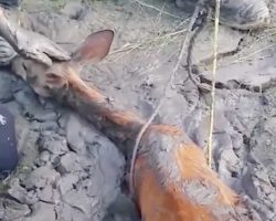 Deer trapped in mud pool fights for life – Then man reaches hand down and does the only right thing