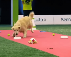 Golden Retriever Gets Hilariously Distracted During Televised Dog Race