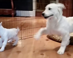 Golden Retriever Puppy Loses His Grip When He Meets A Baby Goat