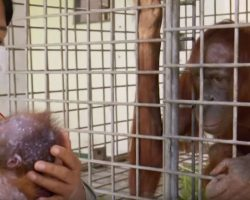 Orangutan Hasn't Seen Baby Since Kidnapping Until Unforgettable Reunion