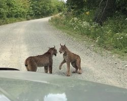 Woman Sees 2 Lynxes In Rare Standoff, But Can't Believe Her Ears When She Rolls Down Car Window