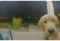 Puppy Escapes His Home, Instantly Regrets It And Rings Doorbell To Get Back In
