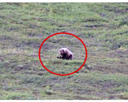 Wild Grizzly Bear Rolls Down A Hillside Like A Little Kid And It's A Total Day Maker