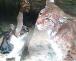 This Stray Cat Falls Into a Lynx's Enclosure – Then a Zoo-Goer Capture it all on Video