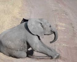 Baby Elephant Throws Temper Tantrum And Mom Knows What To Do