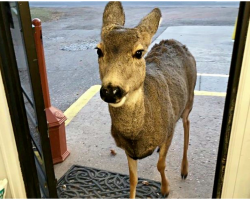 Curious Deer Wanders Into Store, Later Returns With Unexpected Visitors