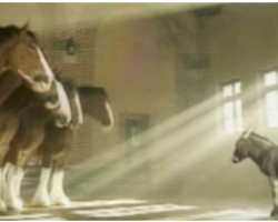 Tiny Donkey Wants To Be A Budweiser Clydesdale So He Tries To Prove His Worth