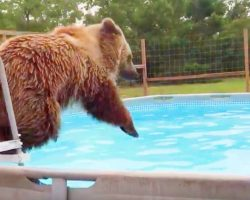 Grizzly bear in a pool having fun has to be the happiest video you'll see