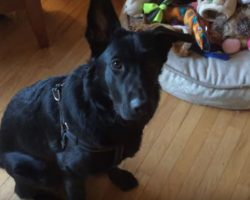 German Shepherd was asked to pick his favorite toy and it's the cutest
