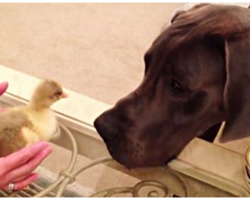 Great Dane Freaks Out Over Baby Goose, Hilarious Encounter Has Mom Cracking Up