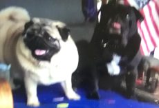 Man Distraught After His Two Pugs Stolen From Car, Police Seeking Information
