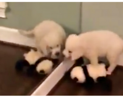 Lab Puppy Is So Confused When He Tries To Share His Toy With Himself
