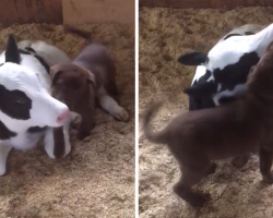 Puppy Introduces Himself To A Newborn Calf, And He Can't Hold Back