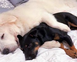 Rescue Puppy Meets His New Big Brother And Refuses To Leave His Side