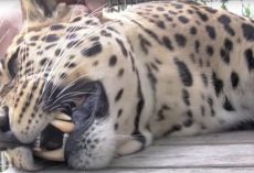 Man Reaches His Hand In To Pet This Massive Rescue Leopard And Gets The Sweetest Vocal Response