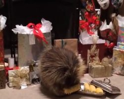 Porcupine Finds A Special Christmas Treat Under The Tree