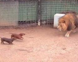 Wiener Dogs Go Right At The Lion, And Lion's Next Move Has Bystanders Gawking