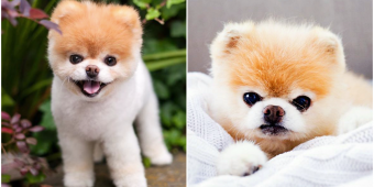 Boo, The 'World's Cutest Dog,' Dies At Age 12 From A 'Broken Heart'