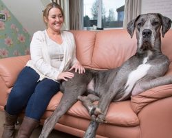 Meet Freddy, Britain's Largest Dog… and His Sister, Too!