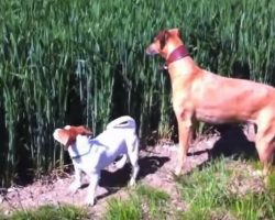 Dog hears farmer's whistle coming from field with laugh-out-loud scene quickly unfolding