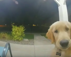 Smart Dog Knows To Ring The Doorbell To Get Back In After Escaping The House