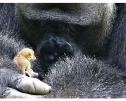Giant Gorilla Discovers Tiny Critter, Cradles Him and Becomes Friends