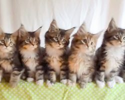 """Kittens Do Synchronized Dancing To """"Uptown Funk"""", Their Cute Dance Is Caught On Tape"""