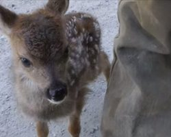 Logger approaches lonesome baby deer – deer calls him 'Mom' in adorable manner