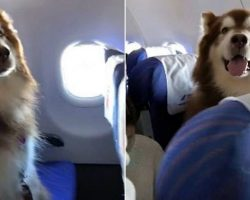 Giant Fluffy Dog Has His Own Seat On The Plane, Wins Over Everyone's Heart