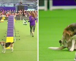 Crowd Goes Crazy As Champion Beagle Gets Hilariously Distracted At Dog Show
