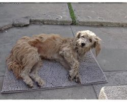 Homeless And In Pain, Dog Walks Right Into Someone's Yard And Collapses