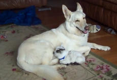 Baby Goat Thinks German Shepherd Is Her Mom, Dog Is Happy To Play Along