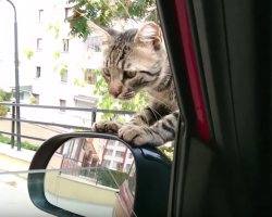 Stray cat decides he wants a forever home, climbs into car and refuses yo leave