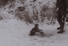Two men rescue angry bobcat from bear trap – Watch it's reaction when it senses freedom