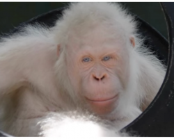 Only Living Albino Orangutan Found, Rescuers Build Her A Special Island