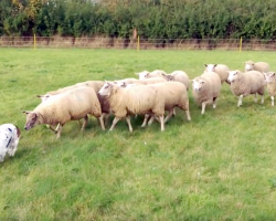 Hound Has No Intention Of Herding Sheep, But The Sheep Follow Her Every Move