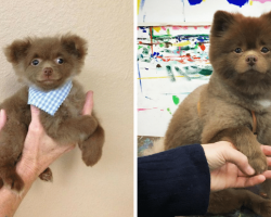 Breeder abandons baby Pomeranian who's 'Too Big To Sell' only to realize his mistake now