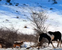 Horse Is Clueless He's Surrounded By Wolves, Suddenly Pulls Move Making Onlookers Gasp