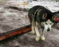 Husky's been chained outside for 15 years – look at how happy he is when he gets a real family
