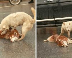 Dog Lies Motionless After A Hit & Run, As His Loyal Friend Tries To Wake Him Up