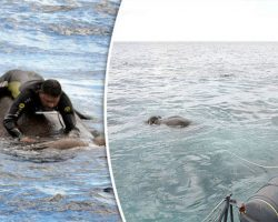 Navy Spots Huge Elephant Drowning Mid-Ocean, Carry Out The Most Amazing Rescue