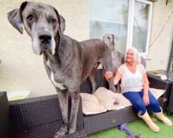 Standing At 7'6 Feet, Freddy The Great Dane Is Crowned Tallest Dog In The World
