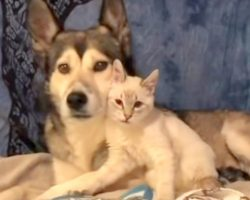 Tiny, Disabled Kitten Dumped In A Yard, Finds Her Foster Mom In A Loving Husky