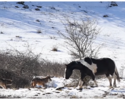 Lone Horse Runs Into Pack Of Wolves, Astounds Predators With Silliest Diversion