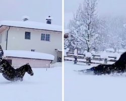 Horses Happily Prance Around In Fresh Snow, Their Fun Playtime Caught On Cam