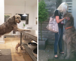 20 Pics Of Irish Wolfhounds To Show How Great (And Massive) They Are