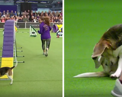 Beagle Gets A Bit Distracted At The Dog Show, And The Crowd Goes Wild