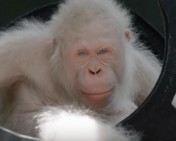 Rescuers find only known albino orangutan on earth, then decide to build her an island
