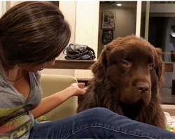 Newfoundland is upset with owner, finally forgives her in heart-melting moment