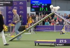 Funny dog leisurely tackles agility course and wins fans at Westminster dog show